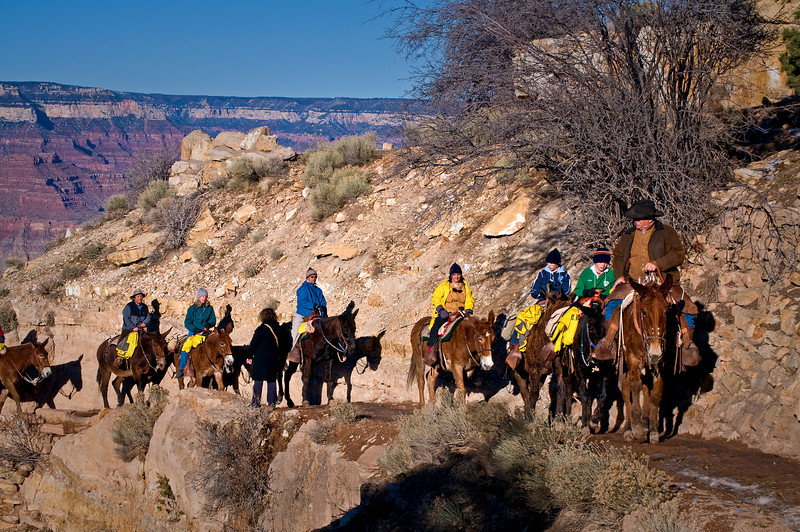 AZ 011                    A mule train returns from the floor of the Grand Canyon, Grand Canyon National Park, AZ.