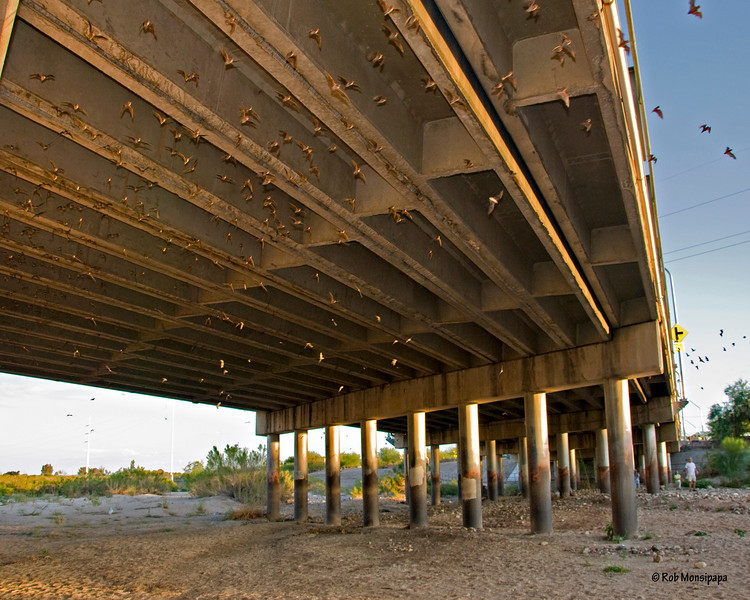 RM_14373<br /> <br /> Sitting under the Campbell St bridge at River Rd in Tucson.  This gives you a better feel for just how many bats are roosting here.  About a half hour before sunset these bats start coming alive by dropping down from their roosts, as seen in the previous photo.  They come out in 3 major waves, a total of about 40,000 in all.  Very cool to watch.