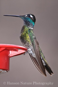 Magnificient Hummingbird
