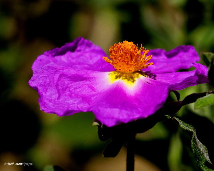 RM_desert_flower_7D_6689