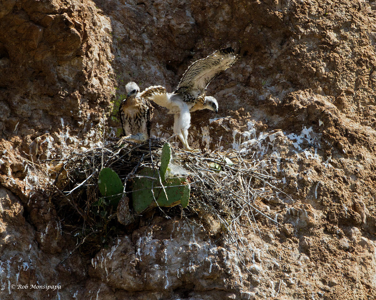 RM_red_tailed_hawks_7D_7896