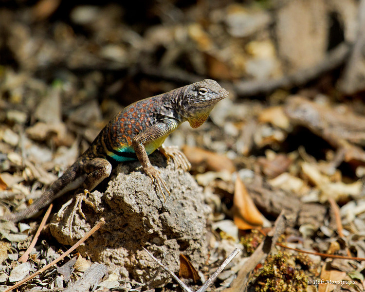 RM_lizard_displaying_for_mate_7D_6917