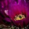 RM_cactus_flower_7D_6397