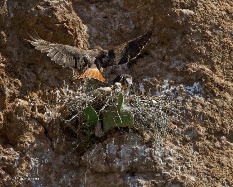 RM_red_tailed_hawks_7D_7794