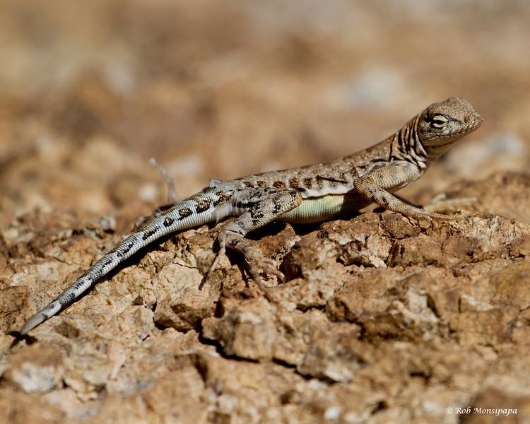RM_lizard_7D_6532