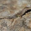 RM_lizard_7D_7433