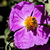 RM_bee_flower_7D_7022