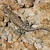 RM_lizard_7D_6806