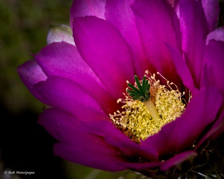 RM_cactus_flower_7D_6482