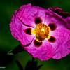 RM_desert_flower_7D_6699