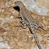 RM_lizard_7D_6790