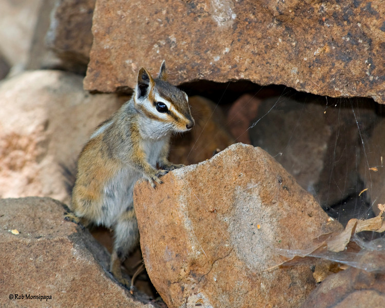 RM_squirrel_7007366<br /> Rock Crossing Camp Ground near Blue Ridge Reservoir in Happy Jack Arizona.