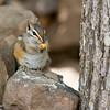 RM_squirrel_7007379<br /> Rock Crossing Camp Ground near Blue Ridge Reservoir in Happy Jack Arizona.