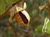 Desert jojoba in the Sonora Desert.<br /> Simmondsia chinensis