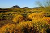 Blooming brittle brush covers the Sonora Desert hills of Daisy Mountain Preserve near Gavilan Peak.<br /> Encelia farinosa