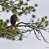 RM_D7000_Adult_Bald_Eagle_5128