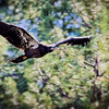 RM_D7000_Immature_Bald_Eagle_1_4437
