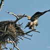 RM_D7000_Immature_Bald_Eagle_1_4782
