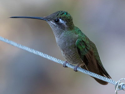 Rivoli's Hummingbird (female)