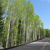 A stately stand of aspens.