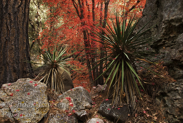 Coronado Nat. Forest, AZ/Oct. Big Tooth Maple trees display there vibrant autumn colors along South Fork of Cave Creek in SE Arizona.