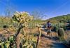 Cactus Forest Trail in Saguaro Nat  Pk , AZ - 10-Edit - 72 ppi