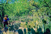 Cactus Forest Trail in Saguaro Nat  Pk , AZ - 67 - 72 ppi