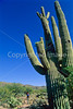 Cactus Forest Trail in Saguaro Nat  Pk , AZ - 54 - 72 ppi