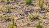 Wild burros along Route 66 near Oatman, AZ - C1-0003 - 72 ppi