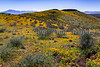 Mexican Gold poppies blooming in Peridot Mesa at the San Carlos Apache Reservation near Globe, Arizona, USA.