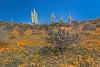 Mexican Gold poppies blooming in Peridot Mesa at the San Carlos Apache Reservation near Globe, Arizona, USA.