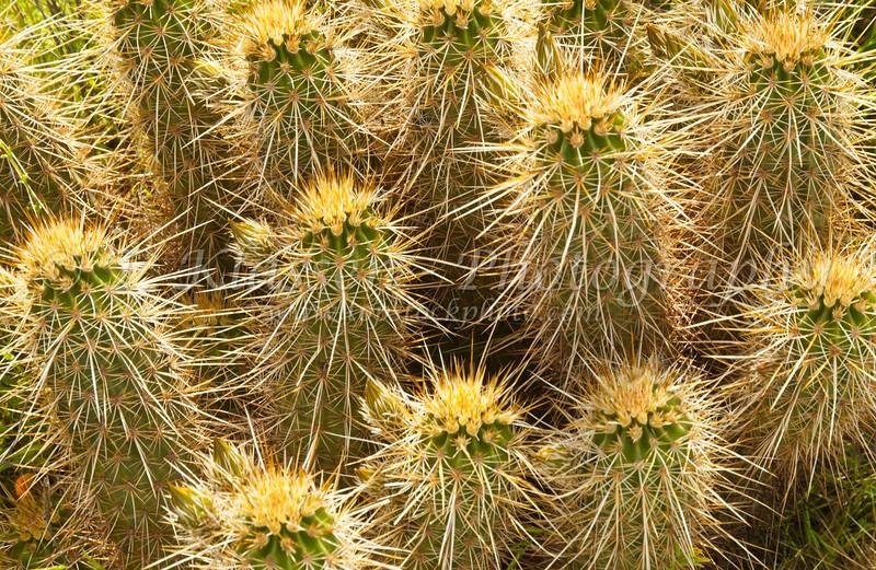Closeup of the hedgehog cactus at the Desert Botanical Gardens in Phoenix, Arizona, USA.