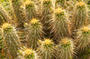 Closeup of the hedgehog cactus at the Desert Botanical Gardens in Phoenix, Arizona, USA.