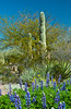 Scenes of the saguaro cactus and flowers at the Desert Botanical Gardens in Phoenix, Arizona, USA.