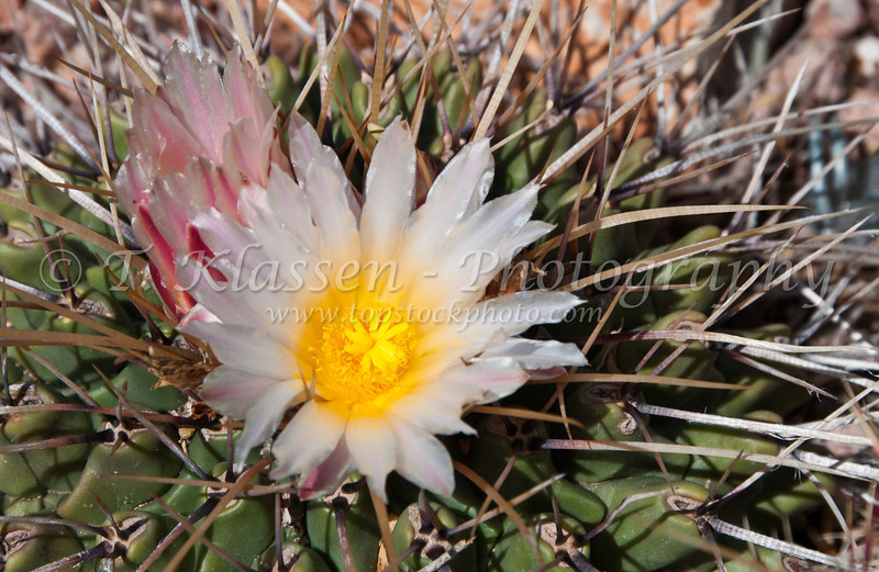 Closeup of the blossom of the Thelocactus rinconensis cactus, in the Desert Botanical Gardens in Phoenix, Arizona, USA.
