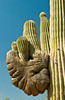 The Saguaro cactus in cristate form in the Desert Botanical Gardens of Phoenix, Arizona, USA.
