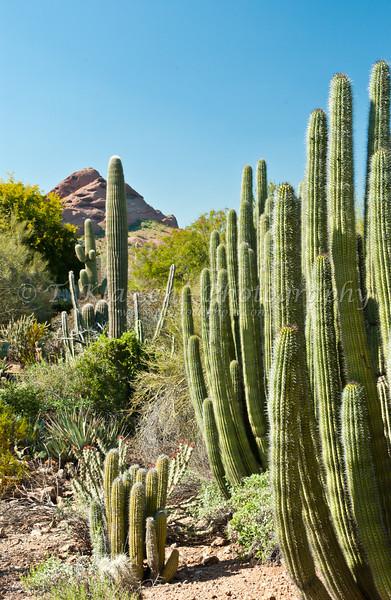 The organ pipe cactus at the Desert Botanical Gardens in Phoenix, Arizona, USA.