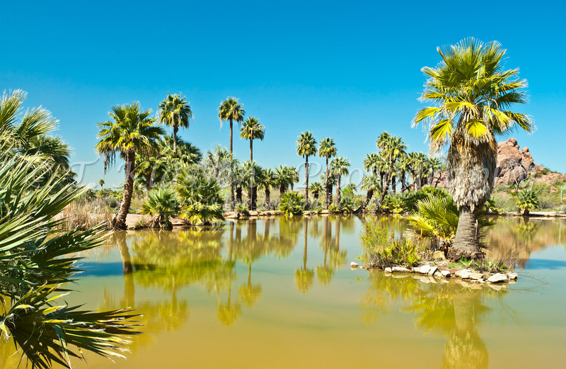A palm oasis in near the Desert Botanical Gardens in Phoenix, Arizona, USA.