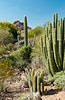 The organ pipe cactus at the Desert Botanical Gardens in Phoenix, Arizona, USA.