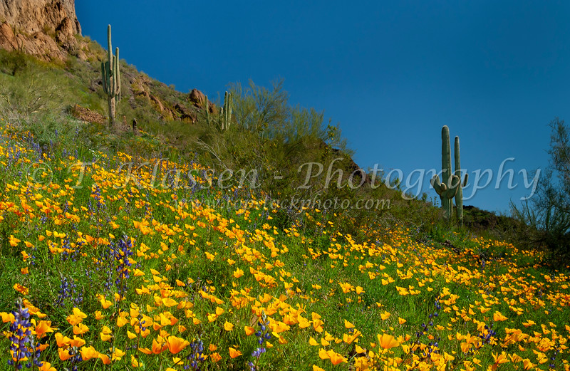 Desert scenes of Mexican gold poppy, saguaro and cholla cactus in Picacho Peak State Park, Arizona, USA.