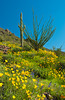 Desert scenic of Mexican gold poppy flowers, with saguaro cactus and ocotillo in Picacho State Park, Arizona, USA.