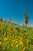 Desert scenic of Mexican gold poppy flowers, and saguaro  cactus in Picacho State Park, Arizona, USA.