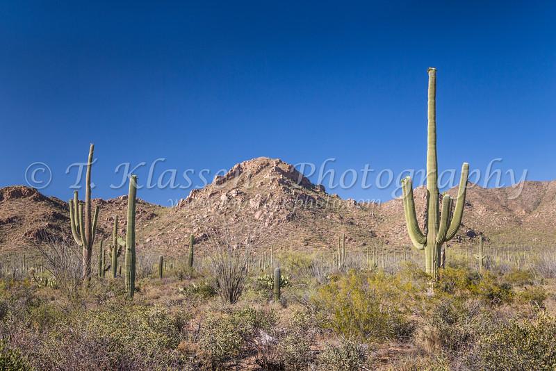 Desert landscape with Saguaro cactus in Saguaro National Park near Tucson, Arizona, USA.