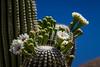 Cactus blossoms on the trunks of the Saguaro cactus in Saguaro National Park near Tucson, Arizona, USA.