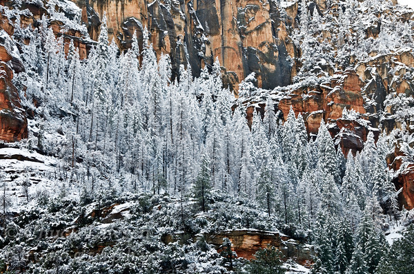 Sedona, AZ/Dec. A winter storm has left a dusting of snow on a grove of pine trees clinging to a slope along the red rocks of Oak Creek Canyon looking South from Slide Rock State Park North of Sedona along Hwy 89.