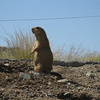 Prairie dog. There's so darned CUTE!