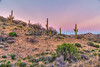 Saguaro cactus at sunset in the Tonto National Forest, Arizona, USA.