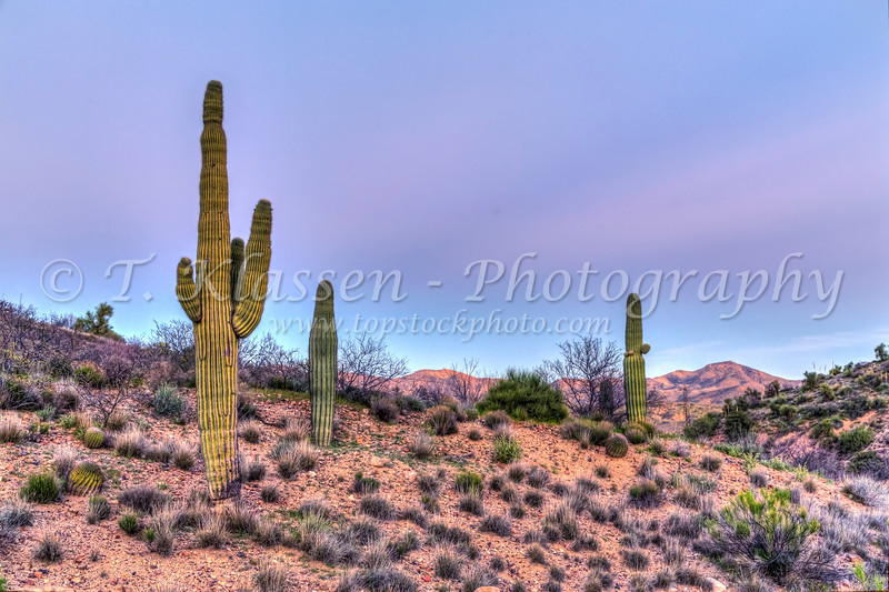 Saguaro cactus at sunset in the Tonto National Forest, Arizona, USA.