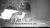 Gray Fox Photobombed by Nighthawk