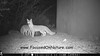 Gray Fox Pair